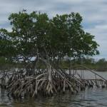 Inmitten des Mangrovenwaldes tut sich ein kleiner See auf_Copyright Wiebke Flegel-Wulf